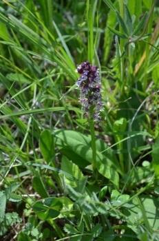 orchis-brule-neotinea-ustulata